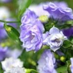 Pretty blue flowers — Stock Photo