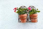 Geranium in the flower pots — Stock Photo
