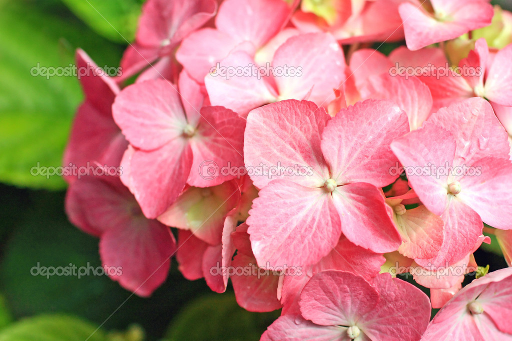 Lovely pink hortensia close up — Stock Photo #6604615