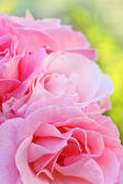 Pink garden roses close up — Stock Photo