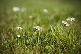 Daisy e verde erba — Foto Stock