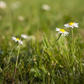 Erba verde e bianchi margherita — Foto Stock