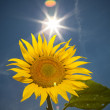Stock Photo: Sunflower, feeling of summer time