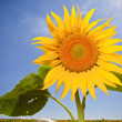 Stock Photo: Sunflower,feeling of summer time