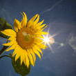 Sunflower,feeling of summer time — Stock Photo #6142251