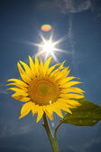Sunflower, feeling of summer time — Stock Photo