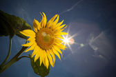Sunflower,feeling of summer time — Stock Photo