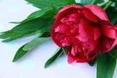 Burgundy peony flower with green leaves on a pink background — Stock Photo