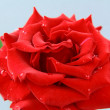 Beautiful rose with water drops - symbol of love and passion — Stock Photo #5848246