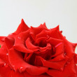 Beautiful rose with water drops - symbol of love and passion — Stock Photo #5855790