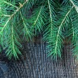 Branches green fir tree on black background — Stock Photo #6062129