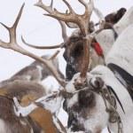 geyik — Stok fotoğraf