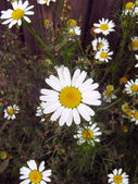 White daisy i — Stock Photo