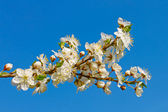 Flowering cherry twig — Stockfoto