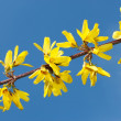Flowering yellow spring twig — Stok fotoğraf