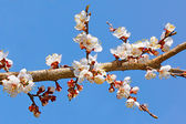 Flowering apricot tree branch — Foto Stock
