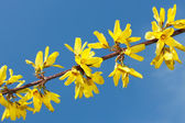 Flowering yellow spring twig — Stockfoto