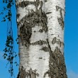 The trunk of a birch tree — Stock Photo