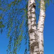 Trunk of a birch tree with green leaves — Stock Photo