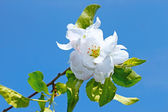 Flower of apple tree — Foto Stock