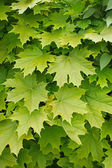 Young delicate leaves of maple — Foto Stock