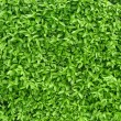 A fragment of a green living fence — Stock Photo