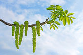 Flowering branch of walnut — Stockfoto