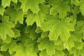 Young delicate maple leaves — Foto Stock
