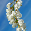 Inflorescence of white acacia — Stock Photo