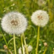 Stock Photo: Fluffy dandelions on meadow