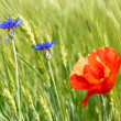 Stock Photo: Cornflowers and red poppy among barley field
