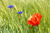 Cornflowers and red poppy among barley field — Stock Photo