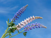 Flowering lupine inflorescence — Stock Photo