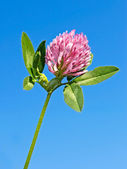 Clover flower against blue sky — Stockfoto