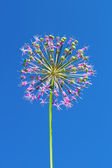Allium inflorescence — Stock Photo