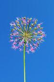 Allium inflorescence — Stock Photo