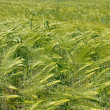 Barley field during flowering — Stock Photo #5833446