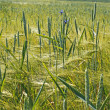 Stock Photo: Plants of wheat over barley field