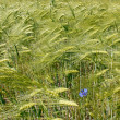 Barley field during flowering period — Stock Photo #5850988