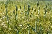 Plants of wheat over barley field — Stock Photo