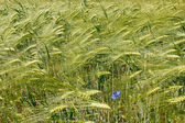 Barley field during flowering period — Stock Photo