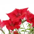 Stock Photo: Red bright flowers after rain. Isolated
