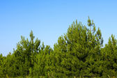 Young pine trees — Stock Photo