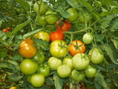 Big bunch of tomatoes — Stock Photo