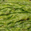 Stock Photo: Accumulation of green algae
