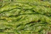 Accumulation of green algae — Stock Photo
