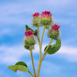 Inflorescences of burdock — Stock Photo