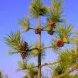 Foto Stock: Small pine tree with cones