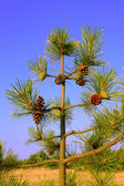 A small pine tree with cones — Stock Photo