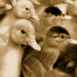 Small domestic duckling. Sepia — Stock Photo